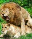 lion2020